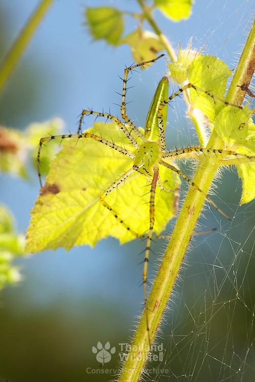 A green lynx spider, Peucetia sp. or a Peucetia viridans variation.