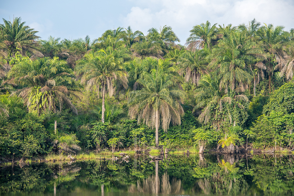 Full frame image of palm trees reflecting on water in Ganta Liberia.
