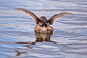 Pied Billed Grebe with wings spread.