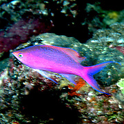 Purple Queen Anthias inhabit reefs. Picture taken Fiji.