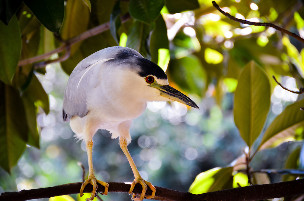A black crowned night heron in a magnolia tree.