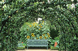 A pear pergola and painted wooden seat backed by sunflowers at West Dean gardens.<br /> Pears 'Beurre Hardy' and 'Conference'