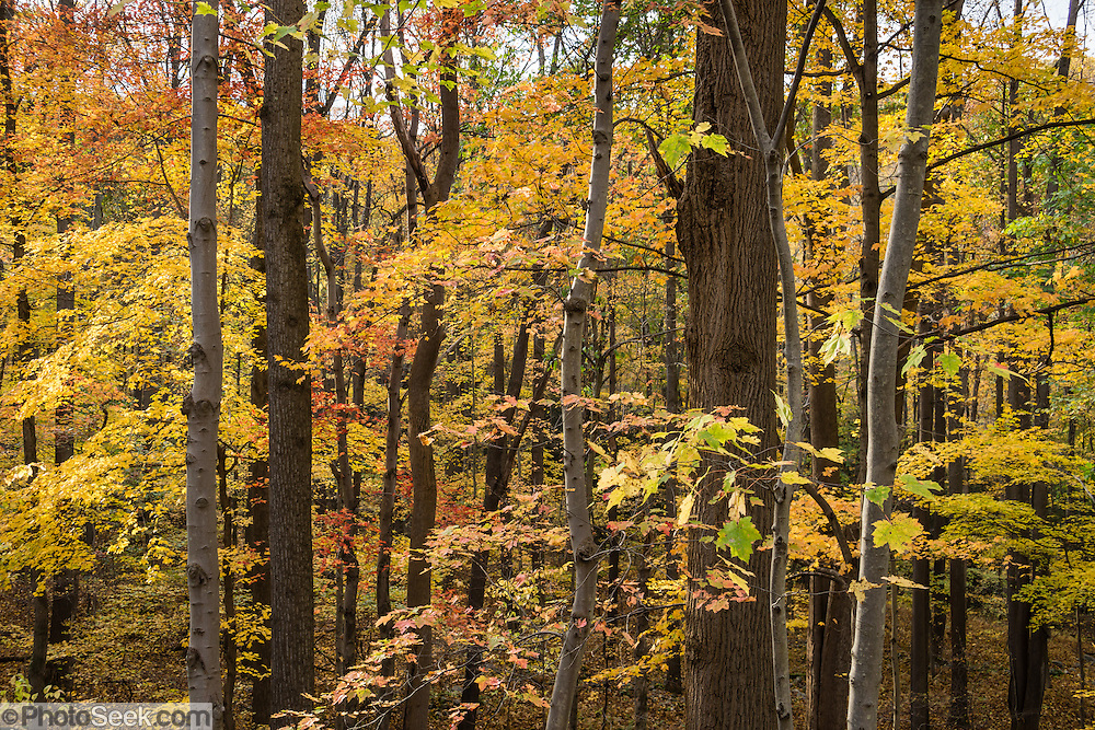 Visit Ohiopyle State Park for peak fall colors starting in late October, in Fayette County, Pennsylvania, USA. 14 miles of the Youghiogheny River Gorge pass through the park, providing some of the best whitewater boating in the Eastern United States. View impressive rapids from a high rail-trail trestle and from a loop trail around the meander of Ferncliff Peninsula Natural Area, with a side trip to Ohiopyle Falls. Ohiopyle State Park is traversed by the Youghiogheny River Trail South section of the Great Allegheny Passage, part of a 318-mile system (512 km) of off-road long-distance trails for biking and walking between Pittsburgh, Pennsylvania and Washington, D.C. Ohiopyle's Kentuck Campground is just 17 minutes from Fallingwater, the famous Kaufmann Residence designed by Frank Lloyd Wright. Ohiopyle SP is bisected by Pennsylvania Route 381, about 90 minutes southeast of Pittsburgh via car.