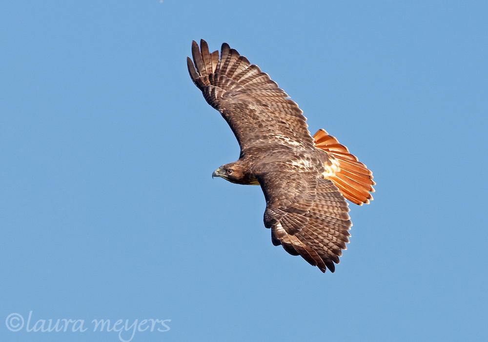 Red-tailed Hawk in flight against deep blue sky