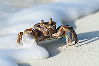 Ghost Crab (ocypode cordimana) in the foam line of a breaking wave on the beach, D'Arros Island and St Joseph Atoll, Amirantees, Seychelles,