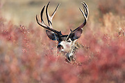 A mule deer buck (Odocoileus hemionus) hides in Autumnal foliage, Western Montana