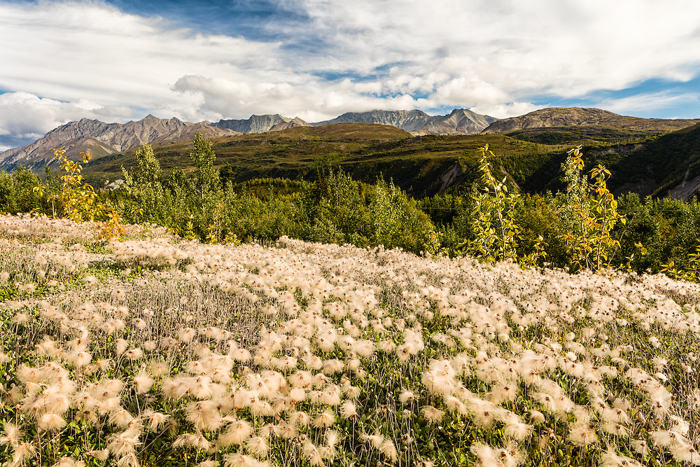 Yellow Dryas (Dryas Drummondii) seed heads adorn the Matanuska Valley and Chugach Mountains in Southcentral Alaska. Autumn. Afternoon.