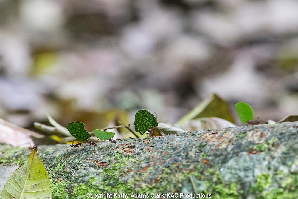 Leafcutter ants, Inkaterra Amazonia; Lake Sandoval; Madre de Dios River; Peru; Reserva Ecologica Inkaterra; Tambopata National Reserve