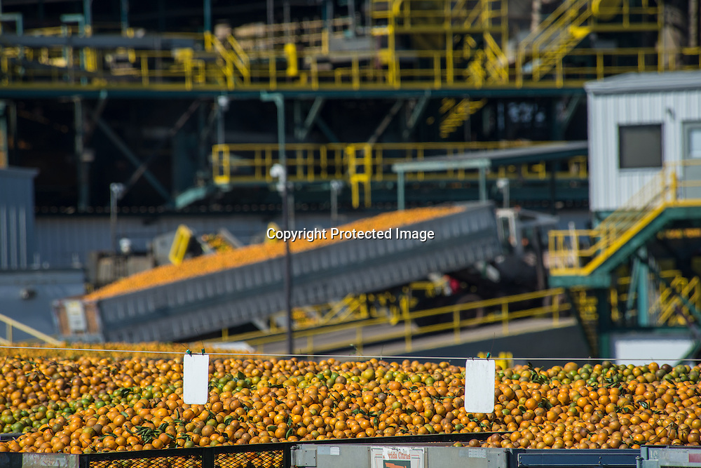 Oranges at the Citrosuco processing plant in Lake Wales, Florida.