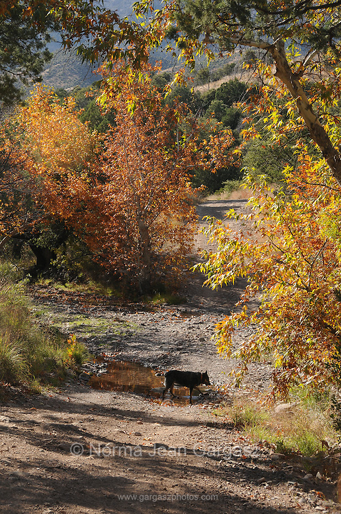 Leaves turn colors in the Fall in Gardner Canyon, Santa Rita Mountains, Coronado National Forest, Sonoran Desert, Sonoita, Arizona, USA.  An Sustralian cattle dog walks near the stream.