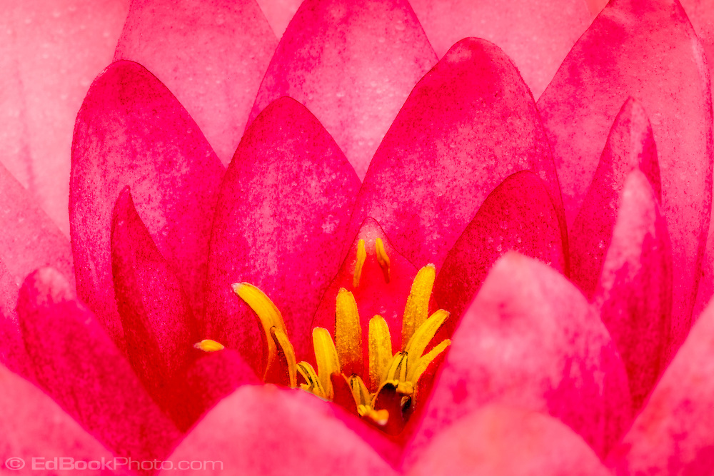 red pink water lily flower blooming in macro