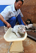 WEIHAI, CHINA - <br /> <br /> Rare Tiger Cubs Nursed By dog <br />  <br />  A breeder weighs a baby tiger born by a 5-year-old Bengal tiger on June 14, 2017 at Rongcheng County in Weihai, Shandong Province of China. Four tiger cubs, two golden tigers, a snow tiger, a white tiger, were born at the Xixiakou Wildlife Zoo. Working Staff of the Xixiakou Wildlife Zoo found a dog to feed the four baby tigers. <br /> ©Exclusivepix Media