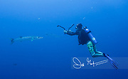 An underwater photographer takes pictures of a barracuda.