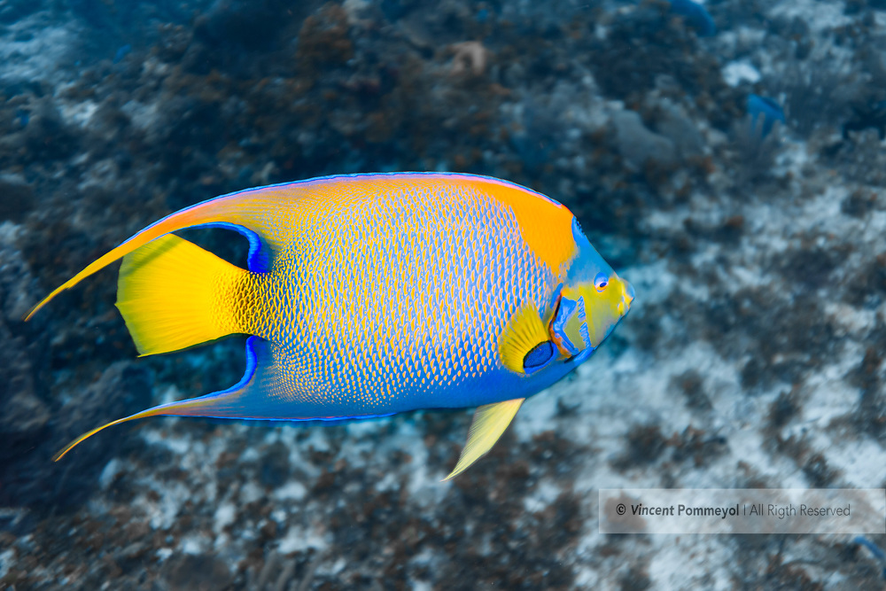 Queen angelfish - Poisson ange royal(Holacanthus ciliaris), Cozumel, Yucatan peninsula, Mexico.