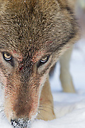 Extreme close up of gray wolf (Canis lupus) eyes and blood stained face in snowy habitat. Captive pack.