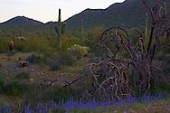 Wildflowers and saguaros at San Tan Regional Park