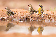 European serin (Serinus serinus). This is the smallest European species of the family of finches (Fringillidae) and is closely related to the Canary. Its diet consists mainly of a combination of buds and seeds.Photographed in Israel in November
