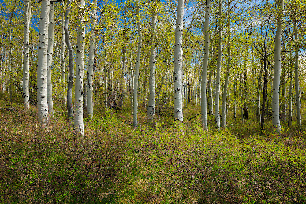 Quaking aspen trees in spring, along the Kolob Terrace Road in Zion National Park.