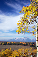 Buffalo Ridge, Golden Aspen, autumn, sunrise, Grand Teton National Park, Grand Tetons, Jackson Hole, Wyoming<br />