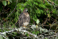 Red-tailed Hawk (Buteo jamaicensis), Thornton Fish Hatchery, Ucluelet, British Columbia, Canada