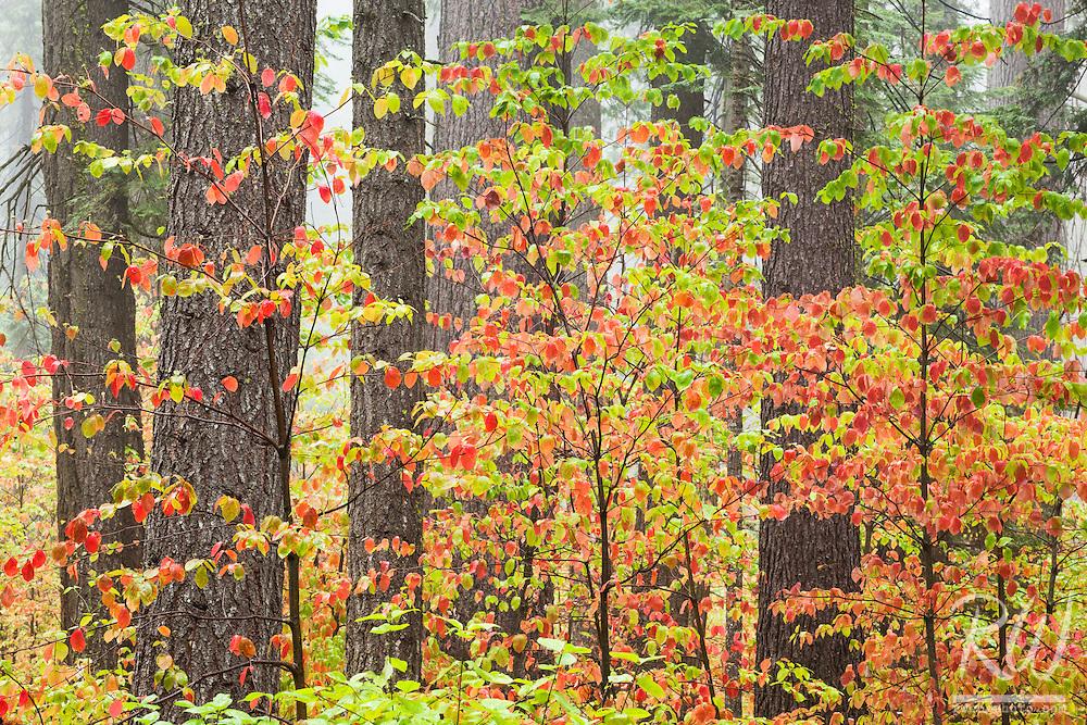 Dogwood Fall Color, Calaveras Big Trees State Park, California