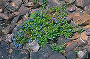 Blueberries (Vaccinium sp) and rock. Coniston.<br />Greater Sudbury<br />Ontario<br />Canada