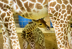 © Licensed to London News Pictures. 12/05/2017. Wraxall, North Somerset, UK. A baby giraffe called 'Gus' takes early steps at a little over 12 hours old with his mother Genny at Noah's Ark Zoo Farm Photo. His father Gerald died earlier this year of natural causes, before Gus was born. credit : Simon Chapman/LNP