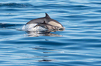 Mom and pup Common Long-beaked dolphins in the Gulf of California near Loreto, Baja California Sur, Mexico.