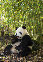 Giant panda, Ailuropoda melanoleuca, sitting upright, eating in a bamboo grove, leaning against a rock.