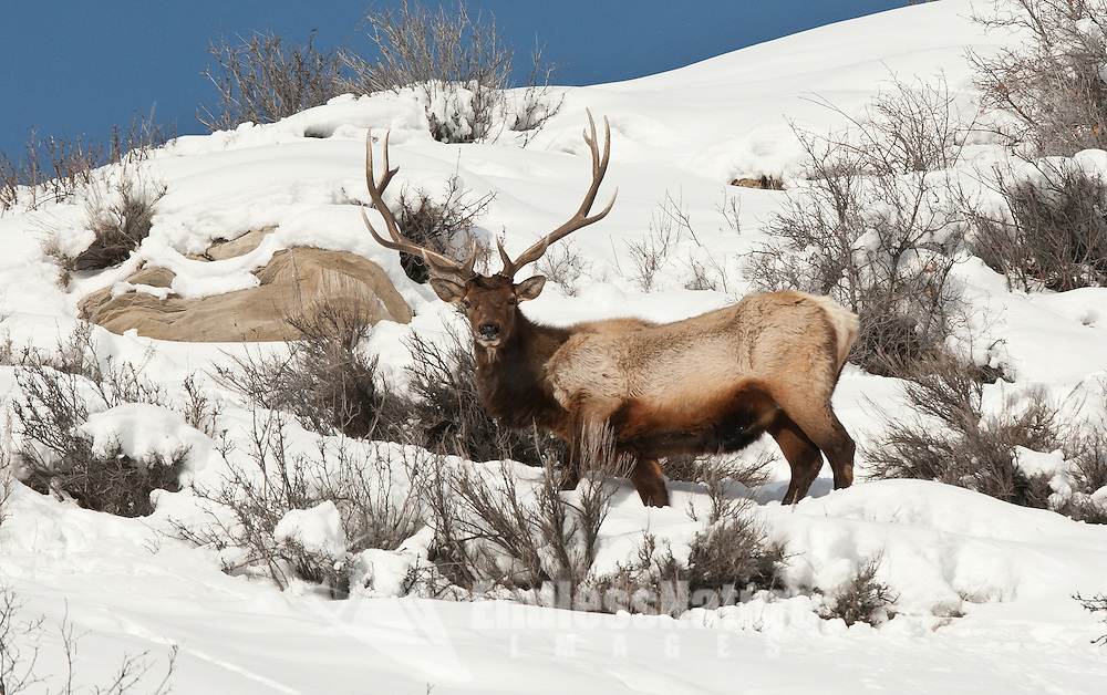 Winter 2017 in Utah snowpack like this has not been seen in many years with that said older winter ranges are seeing large numbers of Elk this is the end of January and you can see even the larger bulls are starting to show by their body size they have been using up a lot of their fat reserves.