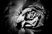 A black and white rendition of a rose following a mid-summer storm.