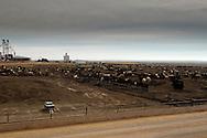Beef cattle, feedlot, Northwest Oklahoma