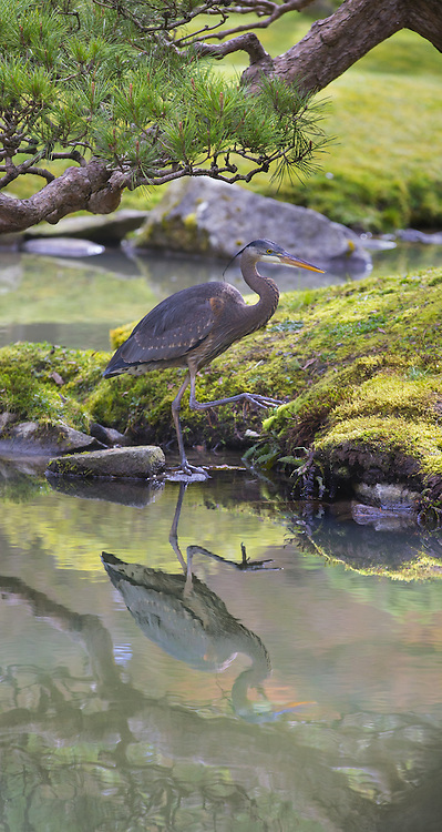 A great blue heron steps gingerly along the edge of a pond at the Seattle Japanese Garden at the Washington Park Arboretum on Wednesday. <br />