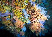 Soft corals, coral caverns, Dendronephtya sp.Multi hues colours.Maldives, atolls, islands, tropics, sea life, fish life, holiday, lifestyle, Indian Ocean, blue sky, lagoon, coral reefs