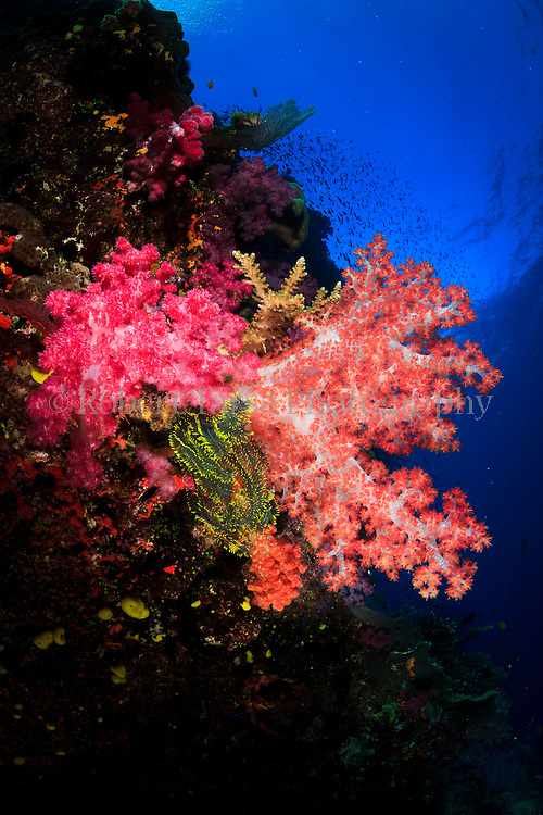 Thorny feather star living amongst soft coral colony.