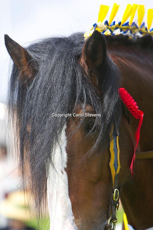 Mr Paul Bedford's bay stallion  Metheringham Upton Hamlet<br /> 5 years old<br /> Sire Moorfield Edward<br /> Champion Shire