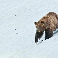 grizzly bear walks along steep snow bank spring