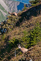 Berner Oberland, Switzerland. Chamois resting on the steep mountainside.
