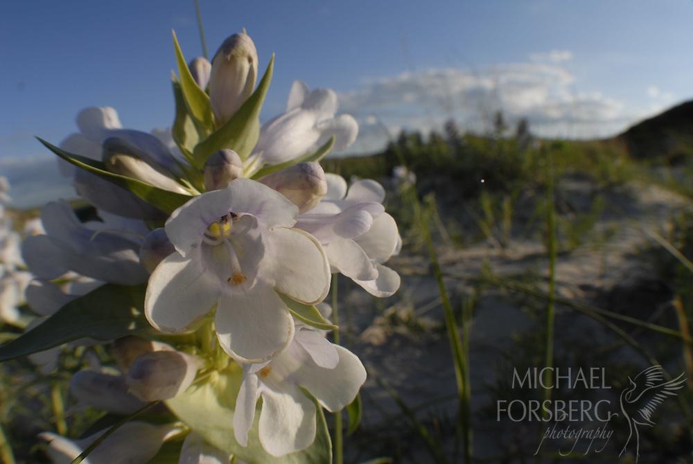 Nebraska Sandhills, near Mullen...Blowout Penstemon (federally endangered plant species) blooming in a sandhills blowout.