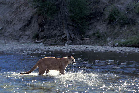 Mountain Lion or Cougar, (Felis concolor) Adult crossing river. Rocky mountains. Montana.  Captive Animal.