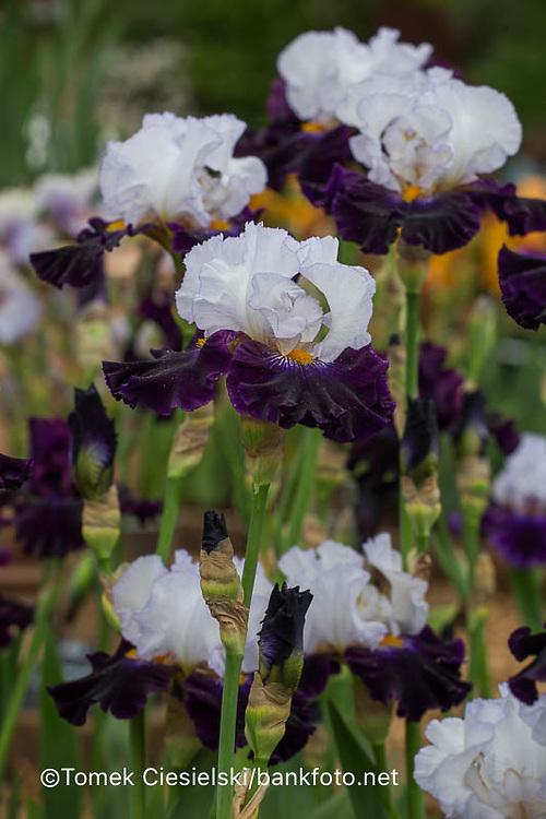 Iris 'Domino Noir' , Cayeux 2014