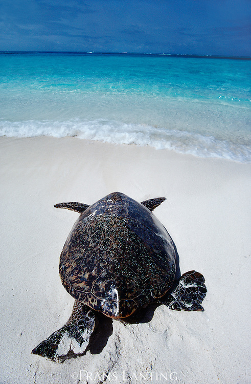 Green sea turtle, Chelonia mydas, Hawaiian Leeward Islands