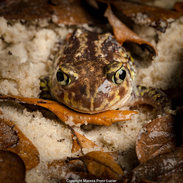 Eastern Spadefoot Toad, Scaphiopus holbrookii, Central Florida,