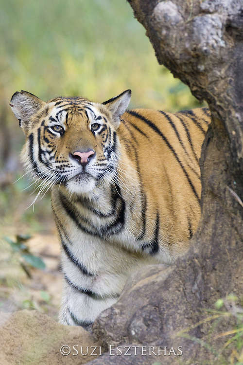 Tiger  <br /> Panthera tigris<br /> Bandhavgarh National Park, India