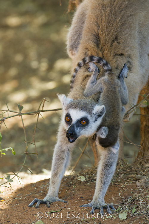 Ring-tailed Lemur<br /> Lemur catta<br /> Mother with three-week-old baby scent marking tree<br /> Berenty Private Reserve, Madagascar