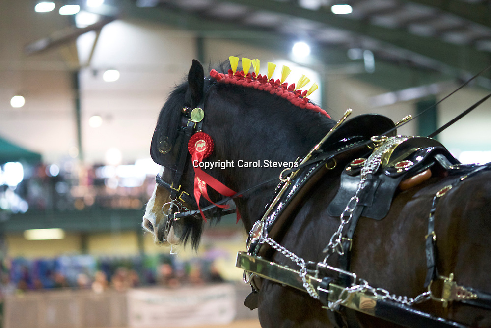 Shire Horse society Spring Show 2017  Turnout Championship