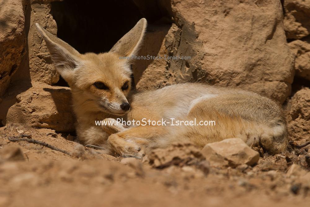 Fennec fox, (Vulpes zerda), Sinai Desert, Egypt