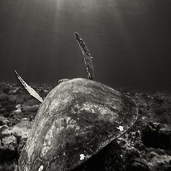 Hawaiian  Green Sea Turtle, Hawaii.