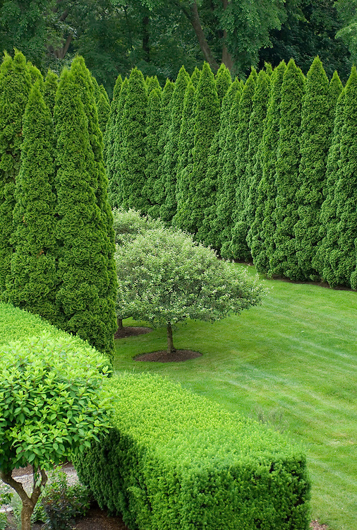 GORGEOUS LAYERS OF THUJA (ARBORVITAE)