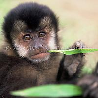 "Macaco-prego ""cebus nigritus"" na Reserva indígena mbya-guarani em Imaruí, sul de Santa Catarina, Brasil. foto de Ze Paiva/Vista Imagens"